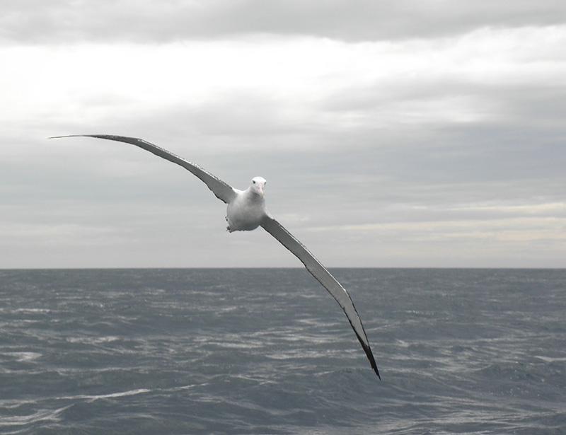 Wandering Albatross Wandering Albatross Wallpaper
